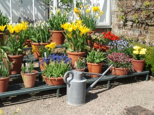 Potted Bulbs, West Dean