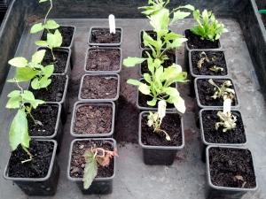 Plants a few days after potting up