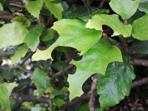 Beech leaves harvested by leaf-cutter bee